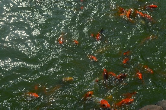 Pousada Tauma:                   Rohu fish in fish pond!