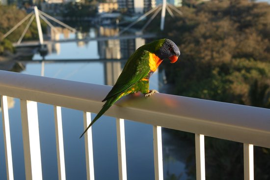 Narrowneck Court:                                     Bird at balcony