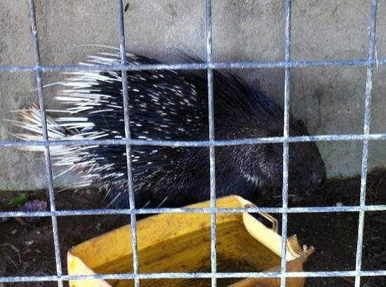 Hiyare Rainforest Reservoir:                                     porcupine in cramped cage looking terrified