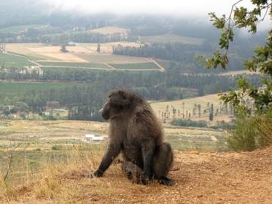 Franschhoek, South Africa:                   Where baboons dream!