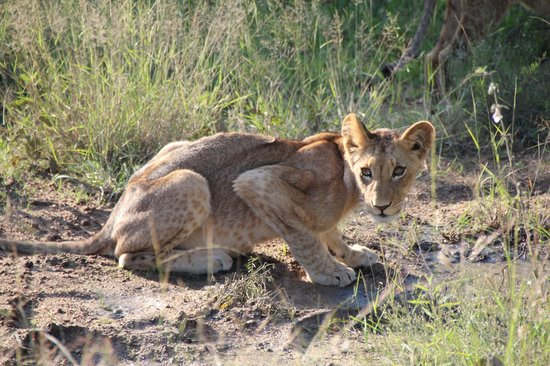 Naledi Bushcamp and Enkoveni Camp:                   Lionbaby