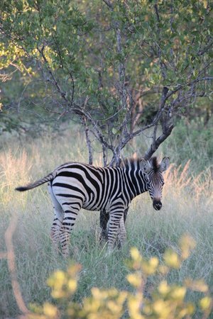Naledi Bushcamp and Enkoveni Camp:                   Zebra Baby