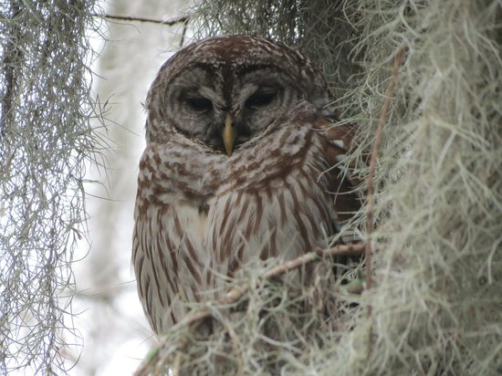 Cajun Country Swamp Tours:                   This is my favorite picture - Barred Owl