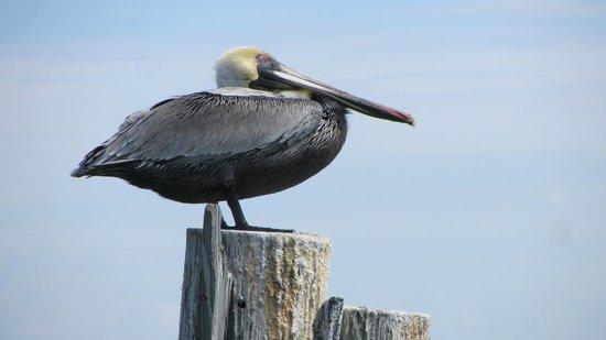 Boca Ciega Resort & Marina:                   The Pelicans