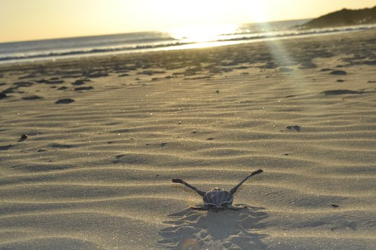 Latina Hostal: baby turtles for the first time looking to the ocean, night tours to  watch tortuguero