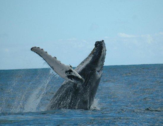 Guesthouse Las Piedras: Excursiones. Para las ballenas. Jorobadas samana