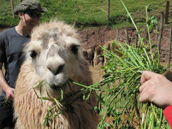 Alpaca farm en route to Ollantaytambo!