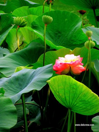 At the Lotus Pond-Chanticleer
