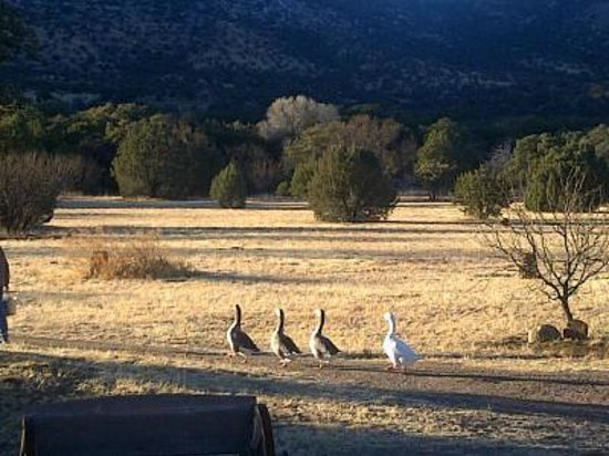 Sunglow Ranch - Arizona Guest Ranch and Resort:                   the incredibly entertaining geese on the property