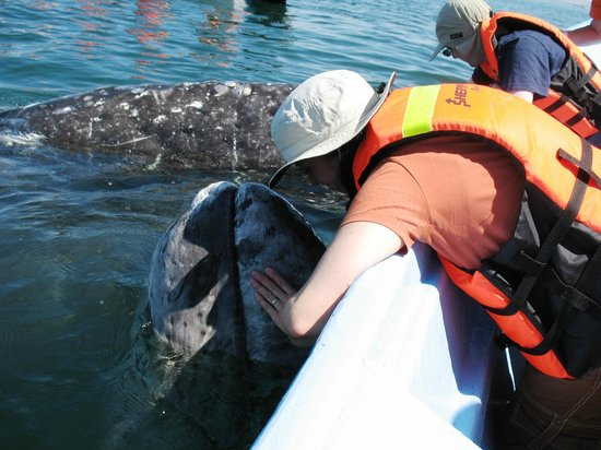 Pachico's Ecotours:                   Sharing the love with a baby Gray Whale