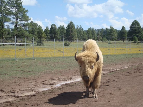 Bearizona Wildlife Park:                   Il bisonte bianco