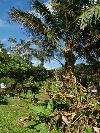 Honoli'i Beach Park:                   Lush jungle