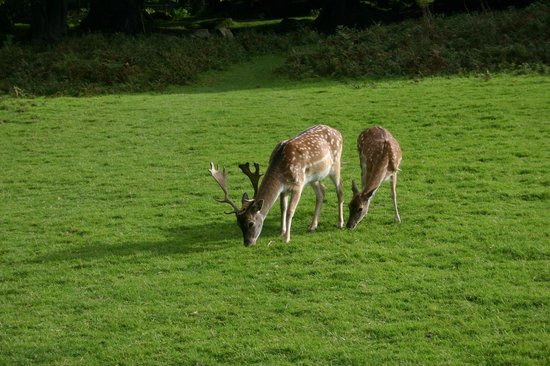 Coombe Mill:                   Deer in the woods on site