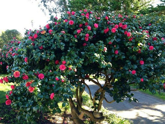 Ocean Echo Inn & Beach Cottages: Our Camellia in full bloom