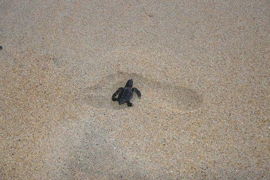 Quinta Lili:                   baby turtle