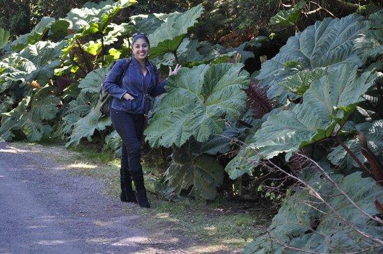 Poas Volcano:                   Espectacular vegetación, hojas gigantes.