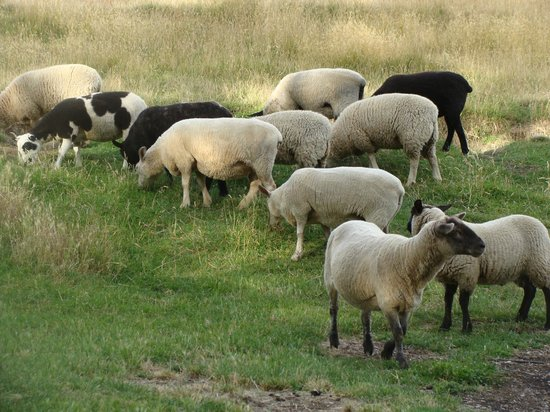 Burn Cottage Retreat: Our friendly flock of pet sheep