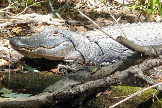 Central Florida Nature Adventures:                                     One big alligator in the sun