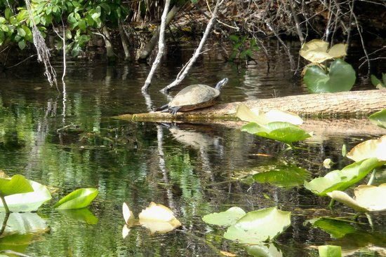 Central Florida Nature Adventures:                                     Turtle in the sun