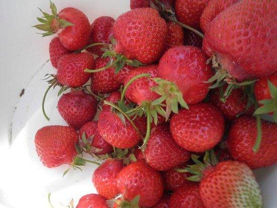 Whittamore's Farm:                   Strawberry Season