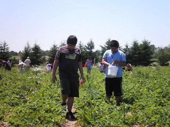 Whittamore's Farm:                   Strawberry picking