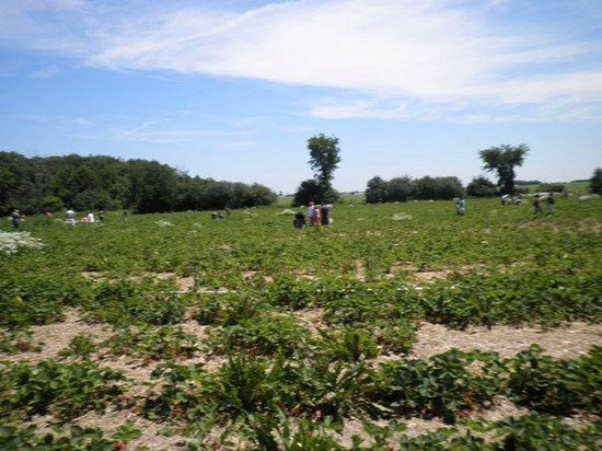 Markham, Canadá:                   Strawberry picking