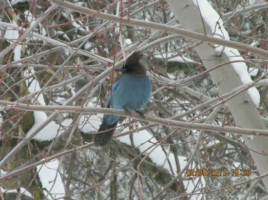 Serendipity Ranch Bed and Breakfast:                   Stellars Jay