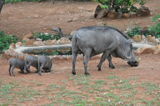 Royal Kruger Lodge:                   Mumma Hog and suckers