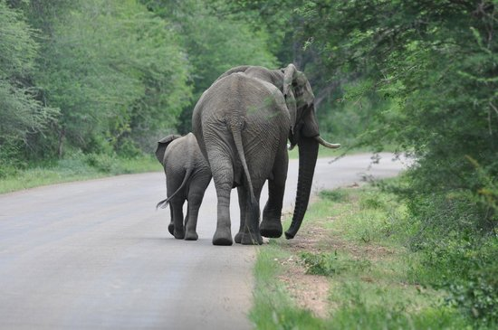 Royal Kruger Lodge:                   The South African Elephant wave