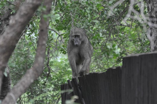 Royal Kruger Lodge:                   On the Boma fence