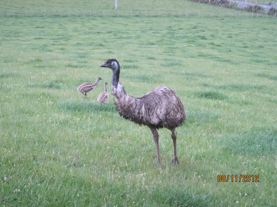 ‪‪Waitomo Big Bird Bed & Breakfast‬: The emu with her babies‬