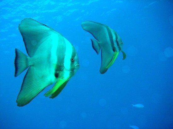 Camiguin Volcan Beach Eco Retreat & Dive Resort: Batfish