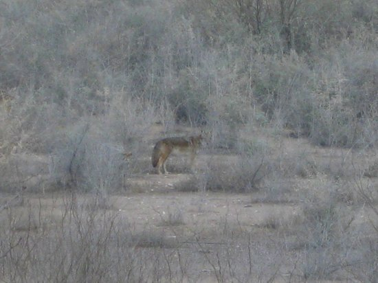 Sheraton Wild Horse Pass Resort & Spa:                   coyote we say on resort interpretive trail