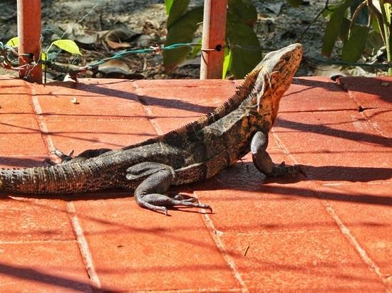 Nature's Beachfront Aparthotel : saw him frequently on the patio...!