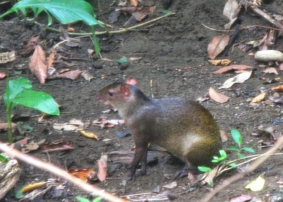 Nature's Beachfront Aparthotel: the agouti that woke us up one morning, just outside our window!