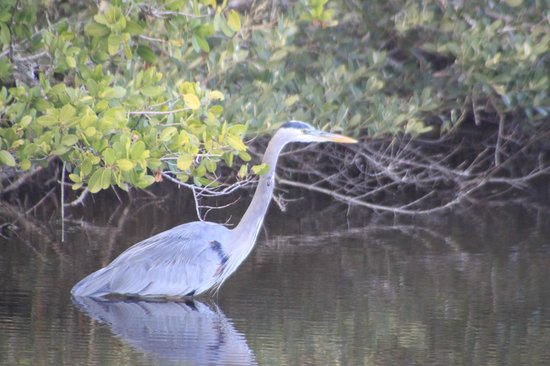 Florida Airboat Excursions:                   Great Heron
