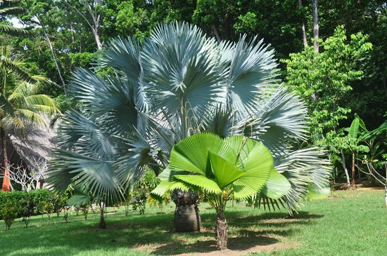 Bosque del Cabo Rainforest Lodge:                   Palm on hotel grounds