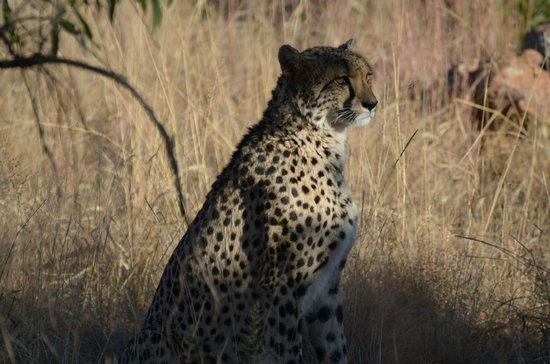 Mhondoro Game Lodge: Cheetah