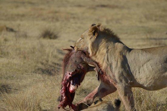Mhondoro Game Lodge : Fresh warthog