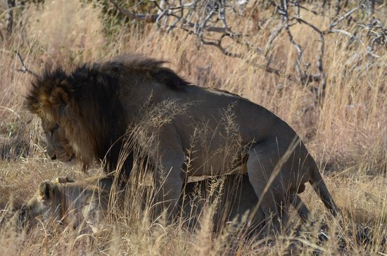Mhondoro Game Lodge: Lions mating