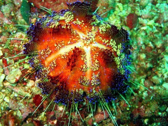 Atlantis Dive Resort Puerto Galera: sea urchin