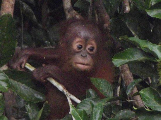 Danum Valley Field Center:                   Baby Orangutan Danum Valley