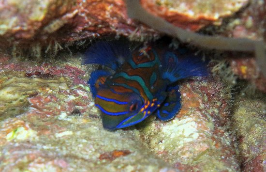 Atlantis Dive Resorts Puerto Galera : mandarin fish