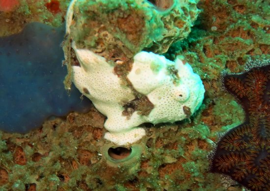 Atlantis Dive Resorts Puerto Galera : frog fish