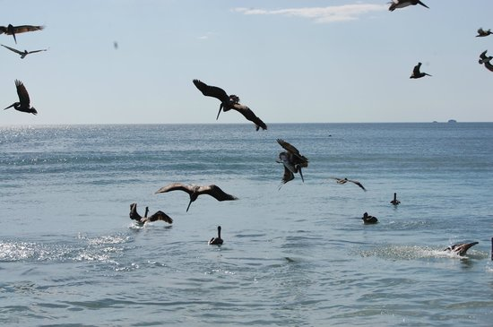 Flamingo Beach Resort & Spa: Lots of pelicans on the ocean
