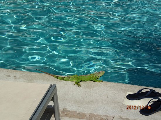Now Amber Puerto Vallarta:                   Iguana by the sports pool