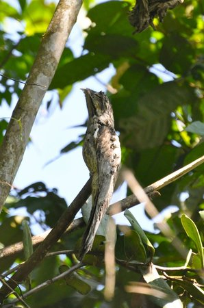 San Isidro del General, Kostaryka:                   common potoo at los cusingos