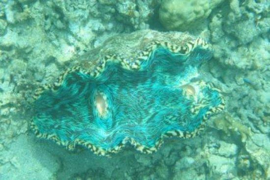 Palau Pacific Resort:                   大シャコ貝(ホテル前ビーチにて)