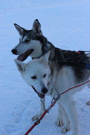 Icehotel: ice hotel huskies