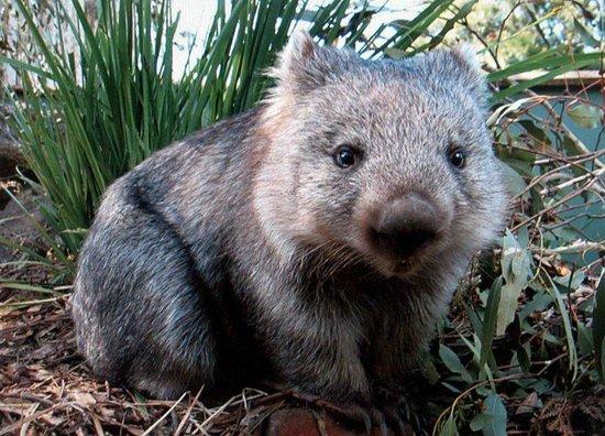 Lumera Chalets: Hand Raised Wombats